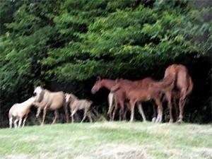 Quarter-horses au parc