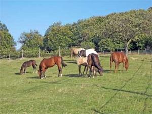Troupeau de Quarter Horses au parc