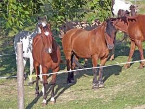 quarter horses et highland en troupeau