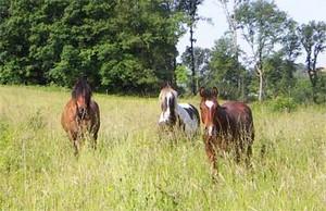 chevaux perdus dans l'herbe