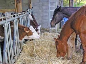 quarter horses et vaches