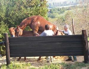 Saillie par étalon quarter horse : Twister Bell Kingdoc et Tina San Leopan