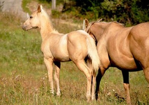 Arrow King of Chen - poulain quarter horse palomino