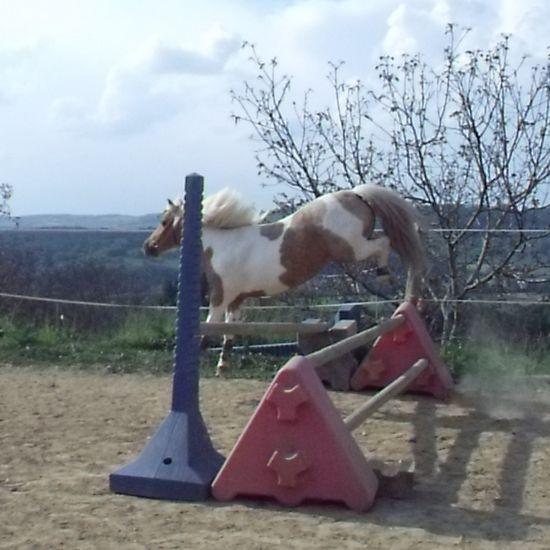 Obstacle en liberté : quarter pony