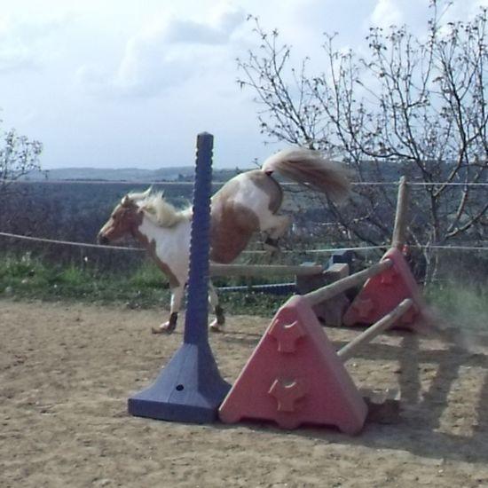 saut d'obstacle en liberté : quarter pony paint