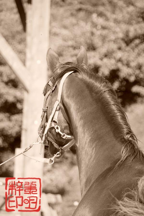 etalon quarter horse vu de dos