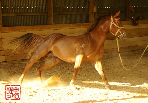 Etalon quarter horse : Twister Bell Kingdoc en longe