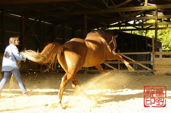 étalon quarter horse en démonstration