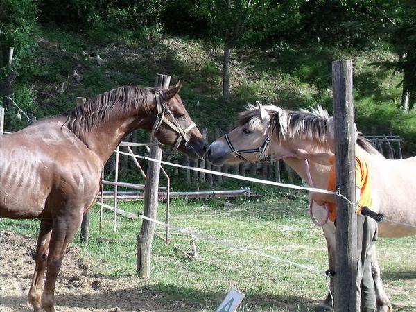 chevaux nez à nez : premier contact