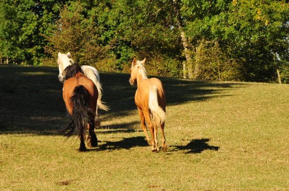 camargue - highland - quarter horse