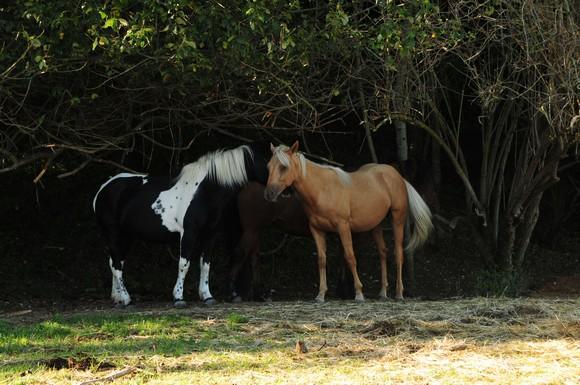 pottock - highland - quarter horse